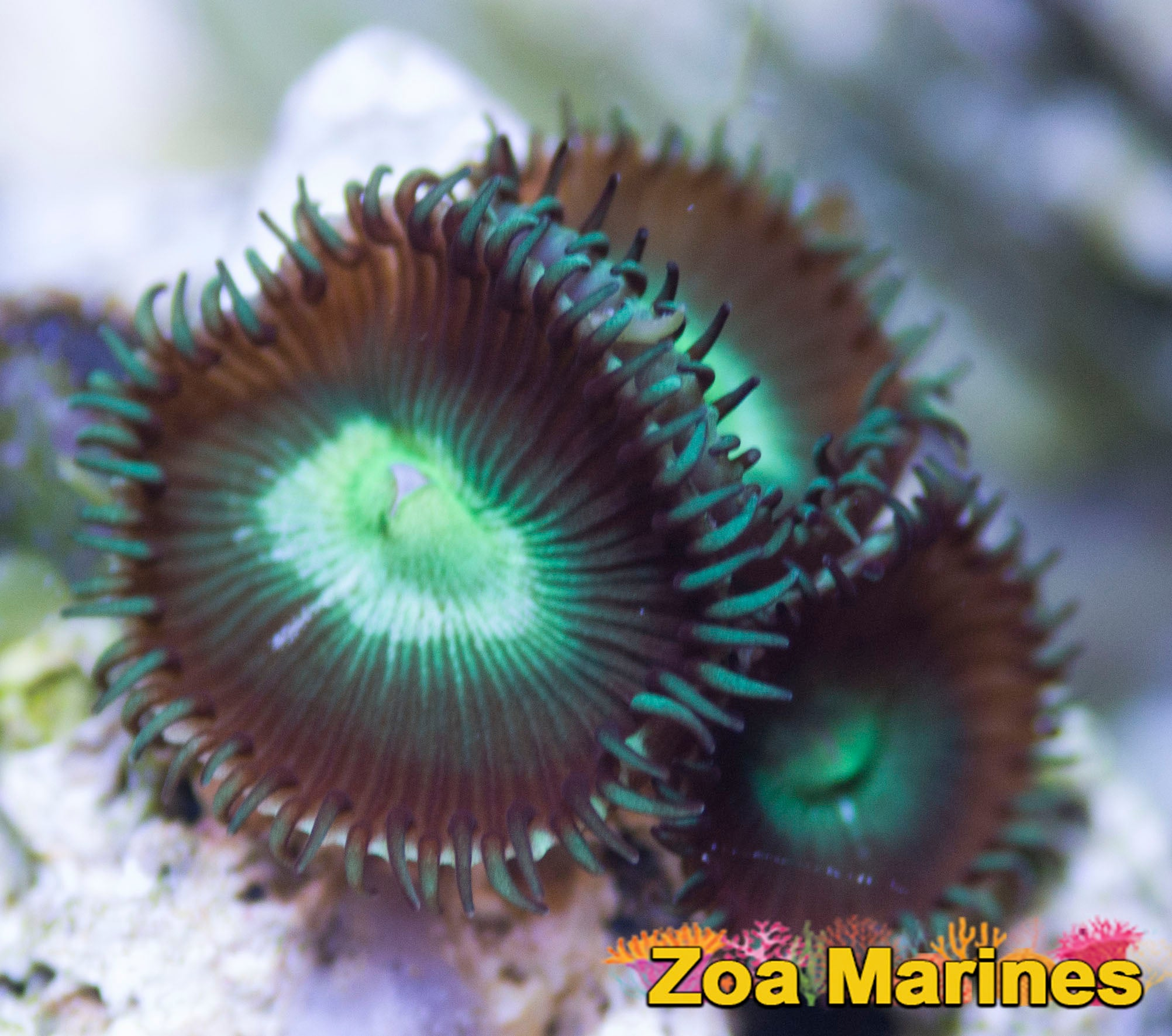 Zoa/Paly 'Lime Centred Implosion' Single Heads