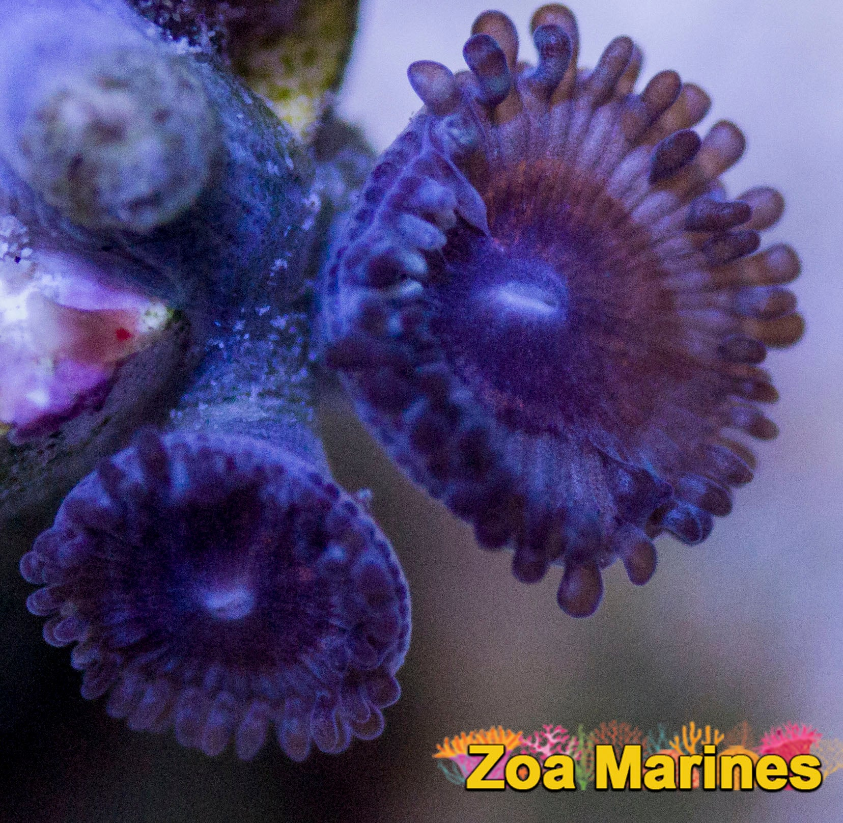 Zoa 'Devil's Armour' Single Heads