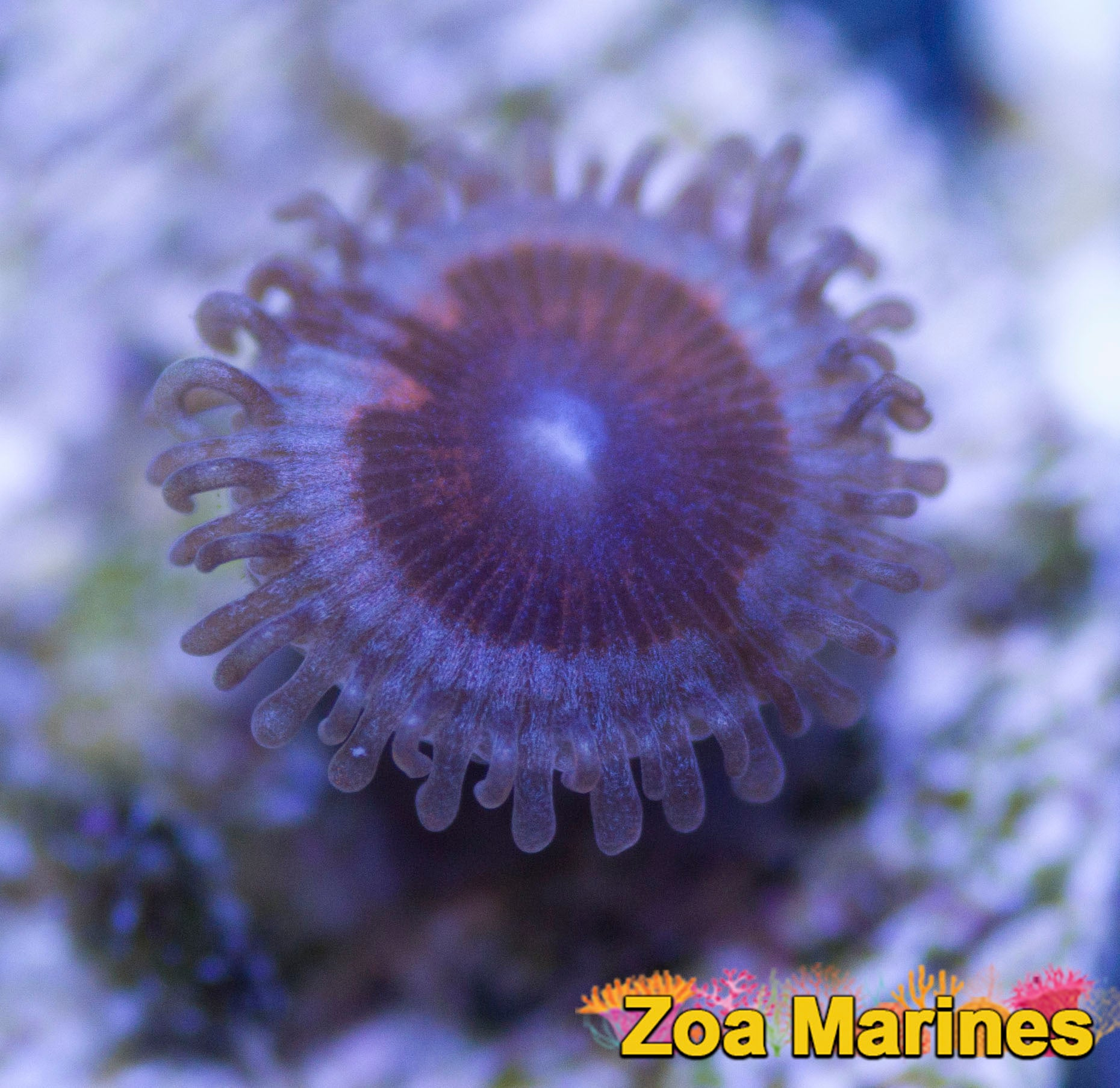 Zoa 'Armageddon' 1 head on Plug