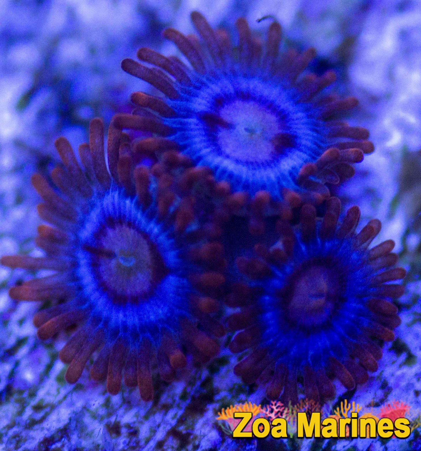 Zoa 'Snitches' Single OR Treble Heads on Plug