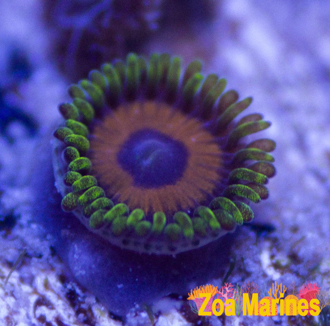 Rarely Seen Collectors Zoa 'Jungle Juice' 1 Head on Plug