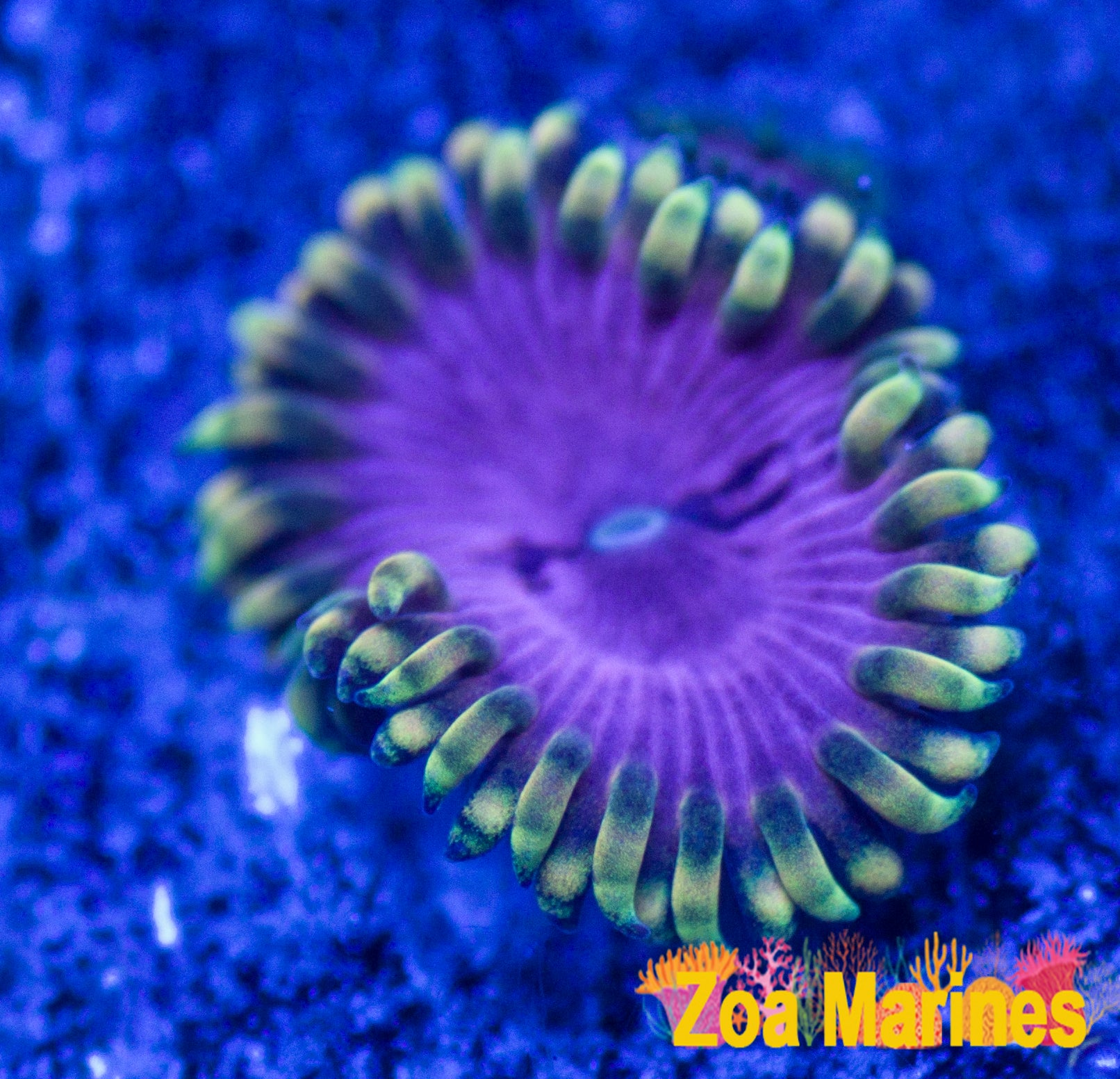 pink diamond collectors zoa
