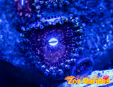 Strawberry wine zoa