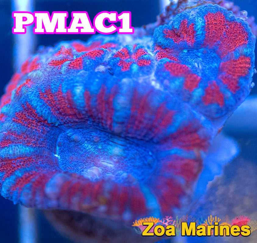 UV Red and Blue Acan Lords, Various Sizes. (no. PMAC1)