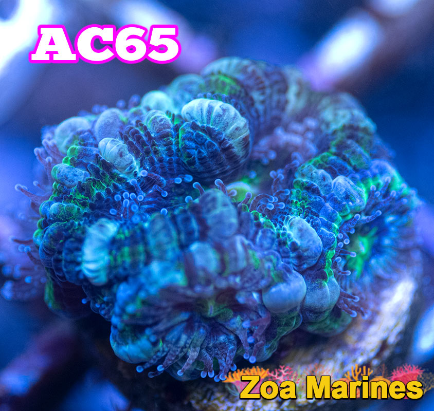 WYSIWYG 'Green Meany' UV Acan Lords, Various Sizes. (no. AC)