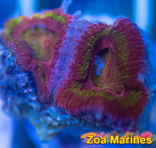 WYSIWYG Rainbow UV Acan Lords, 2 Heads (no. AR2)