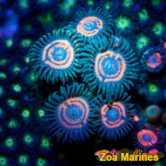 Rare Collectors Zoa 'Armagedon NXT Gen' Single Head