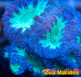 Australian Toxic Centred Purple Blastomusa Wellsi  (no. BL1)