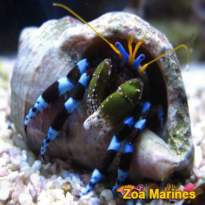 Electric/Neon Blue Halloween Hermit Crab