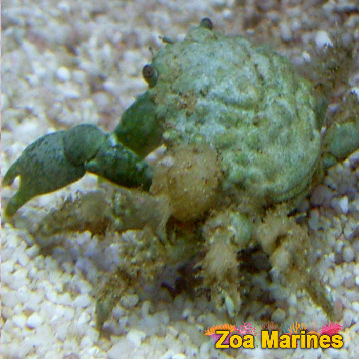 Emerald Crab, Algae Eater!