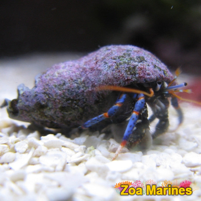 blue leg Hermit Crabs