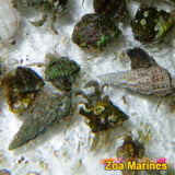 Mixed Hermit Crabs