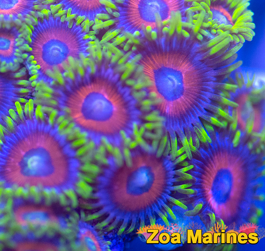 Zoa 'Eagle Eyes' Various Sizes.