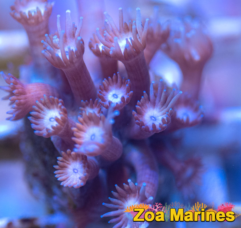 Unusual Blue Eyed Goni Frags, Burgundy Long Stems. (no. gon27)
