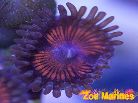 Collectors Zoa Goochsteers, 1 Head