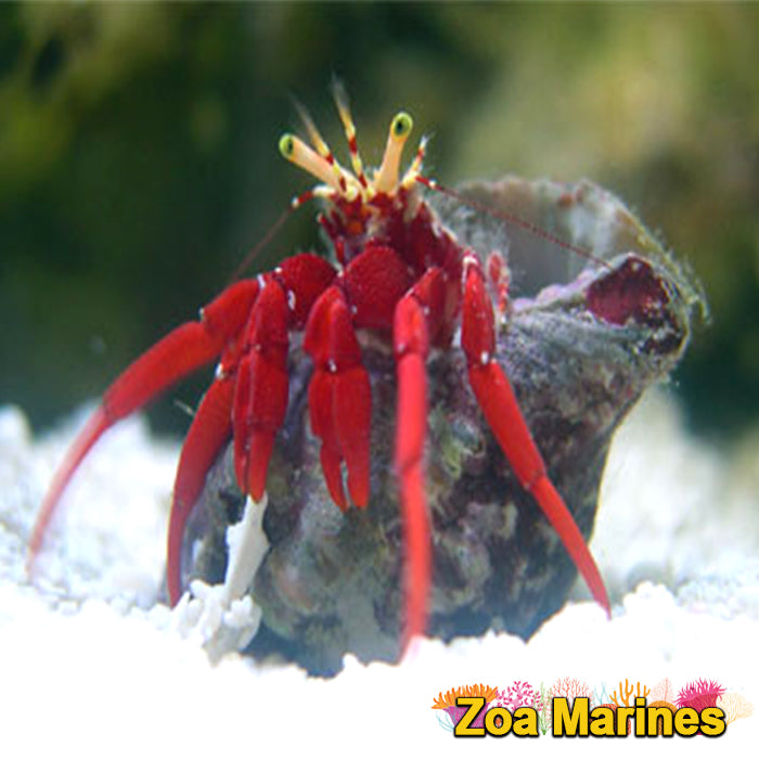 Scarlet Red Leg Hermit Crabs, Medium.