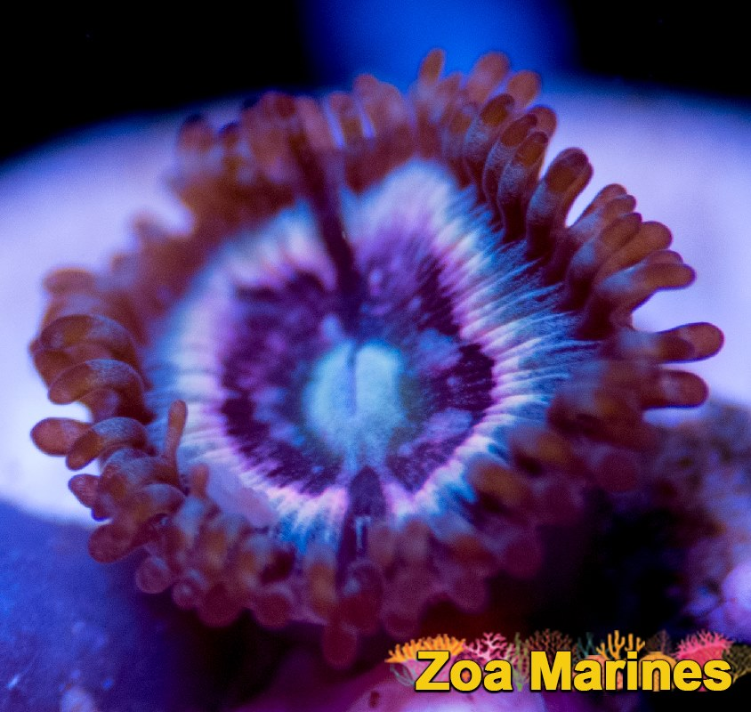 Collectors Zoa 'Ice Phantom' 1 Head