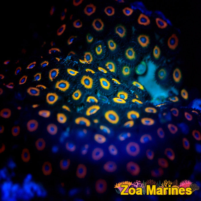 Zoa 'Johnny Pumpkin Seeds' 10+ Heads