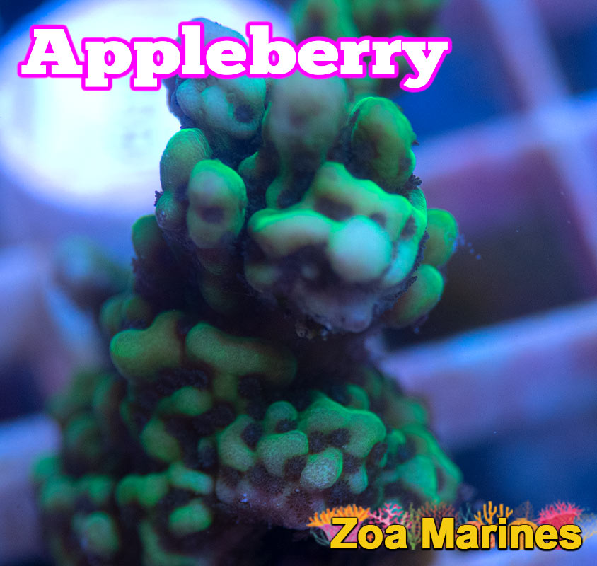 WYSIWYG Collectors Montipora Apple Berry, Various Sizes (no. M5)
