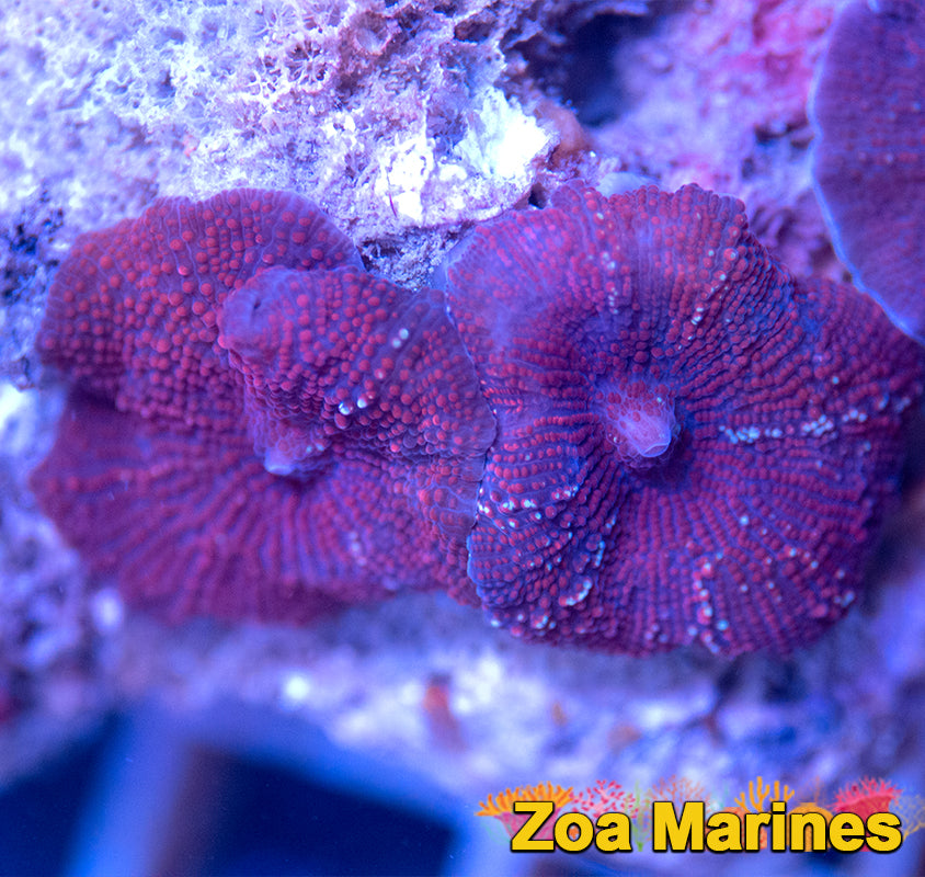 Vietnamese Red Ultra Disco Shroom. (no. nm20)