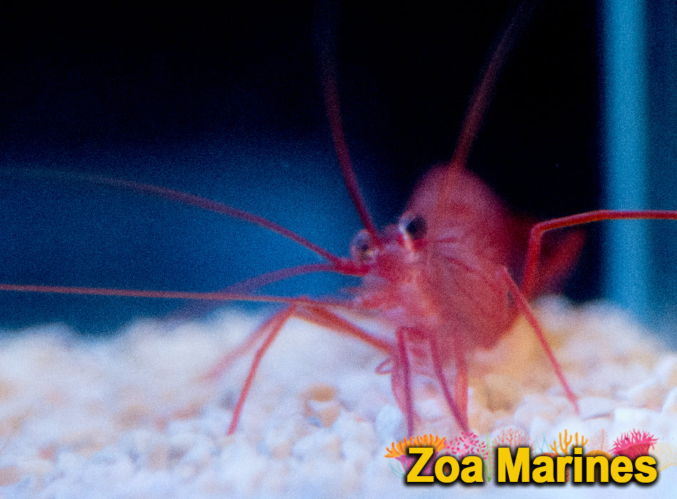Pepermint Shrimp (True Aptasia Eating!) 3-4cm