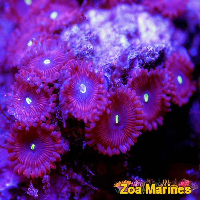 Zoa 'Red PE (People Eaters)' Various Sizes.