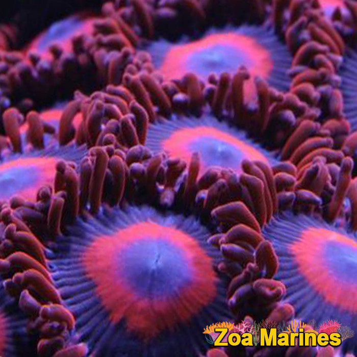 Zoa 'Safe Crackers' Various Sizes