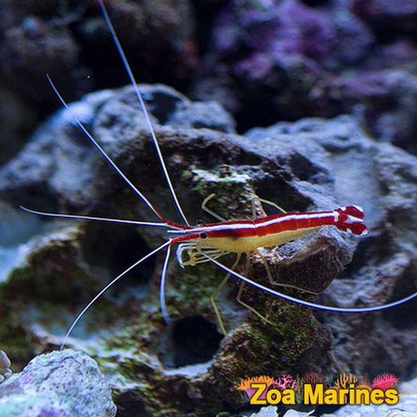 £9.99 In Our Sale !! Cleaner Shrimp medium/Small 1 Inch