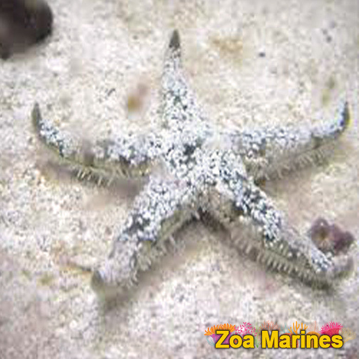 Sand Shifting Starfish