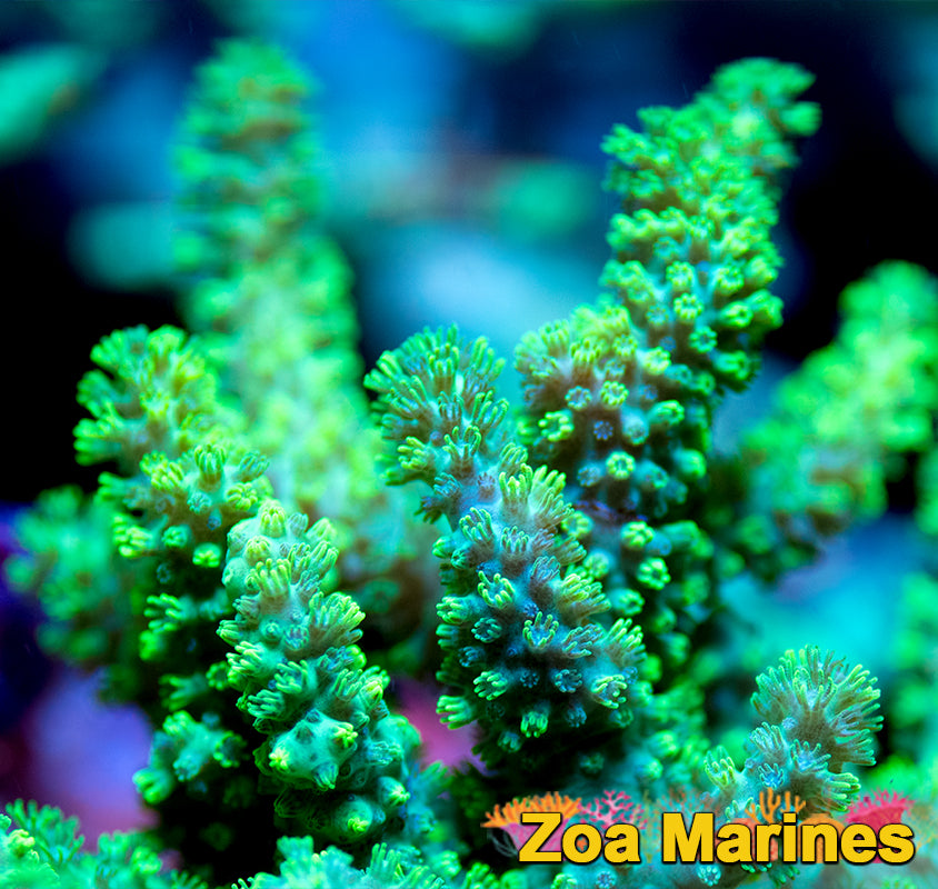 Radioactive Australian Finger Coral, Sinularia Sp, RARER UV Electric Green. (no. SOFT3)