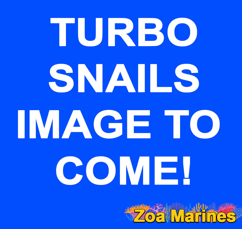 Small Mexican Turbo Snail 2cm