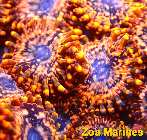 Zoa Lovely Orange Morph 'Utter Chaos' 1 to 4 Heads