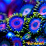 Zoa 'Wonder Woman' Various Sizes.