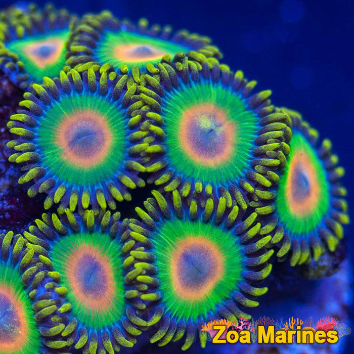 Zoa 'Rasta' Single OR Treble Heads
