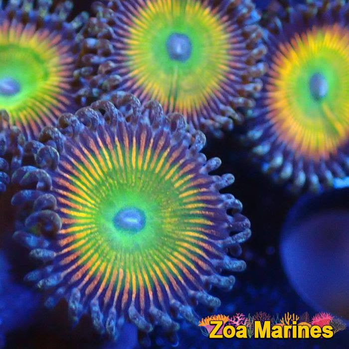 Zoa 'MegaRainbow' 1 Head on Plug