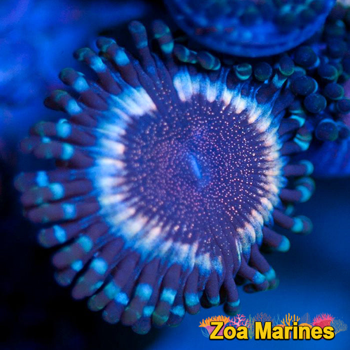Stunning Collectors Zoa 'ZM Vampire Rogues'