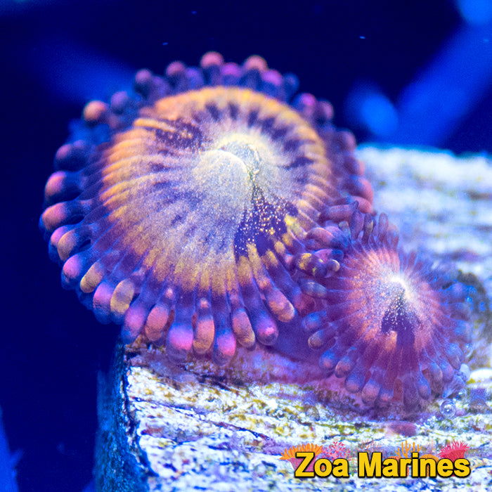 Zoa 'Alien Antivenom' (AAV)