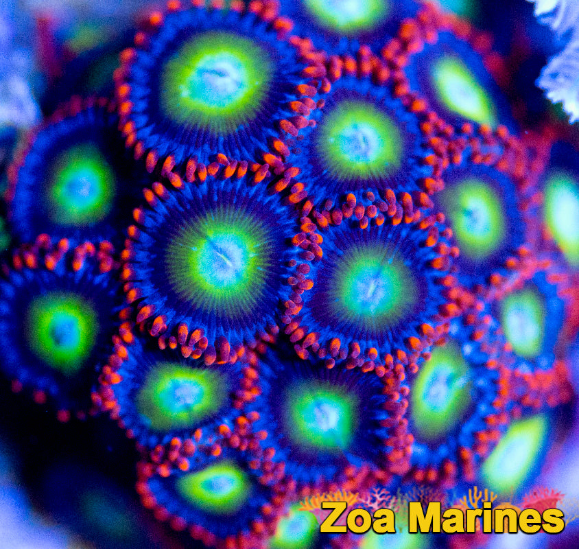Collectors Zoa 'Afro Circus' 1 Head on Plug