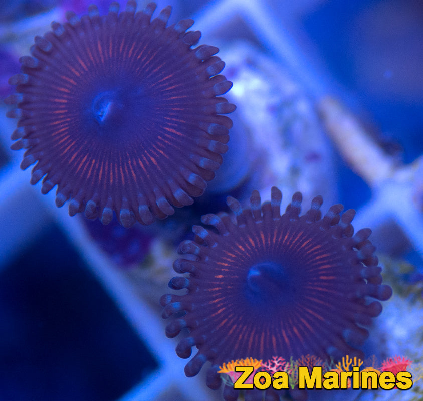 Zoa 'Armour of God' (AOG), 1 or 2 heads on plug
