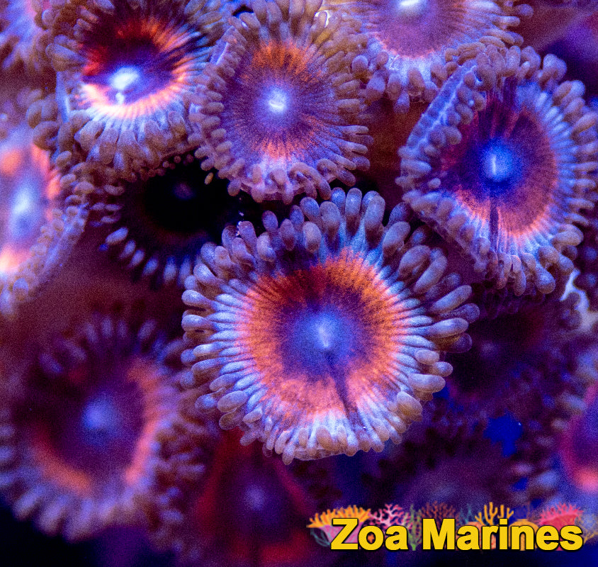 Collectors Zoa 'Candy Crush'