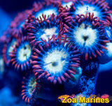 Zoa 'Coronas' 10 or More Heads