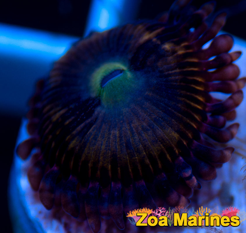 Zoa 'Fairy Muncher' 1 Head