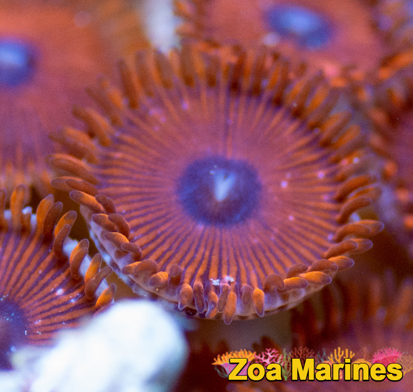 Zoa 'Fire Flies PE' (People Eater)