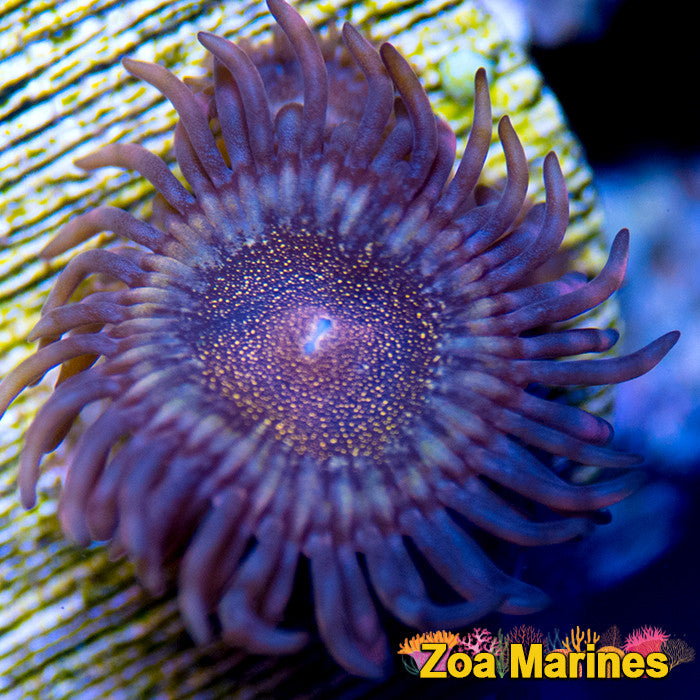 Zoa 'RSM' or 'Reverse Space Monsters' 1 Head