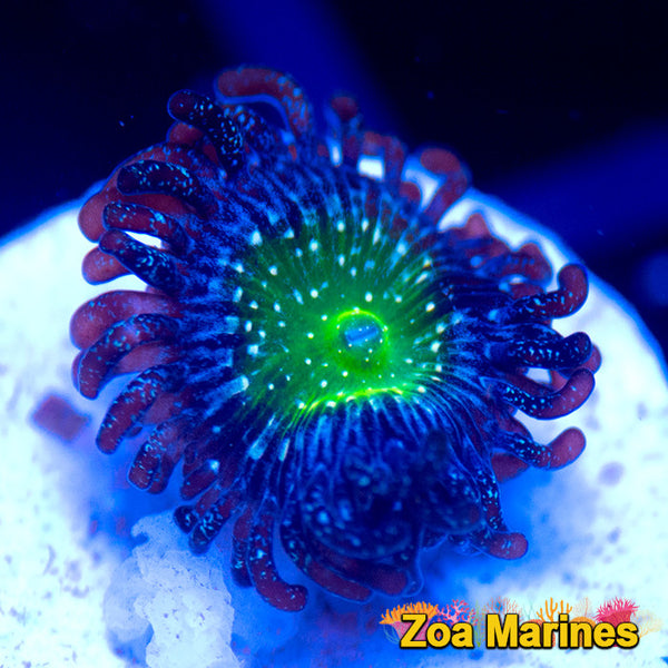 Zoa 'Granny Apple Smith' 1 Head