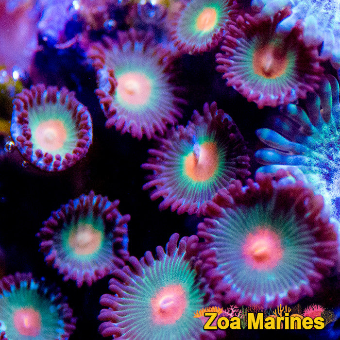 Zoa 'Ratkiller's' Single Head on Plug