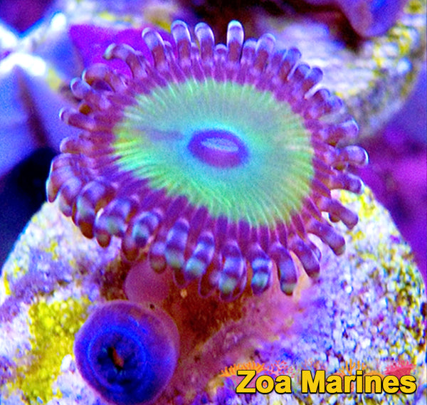 Collectors Zoa 'JF Fireworks' 1 Head