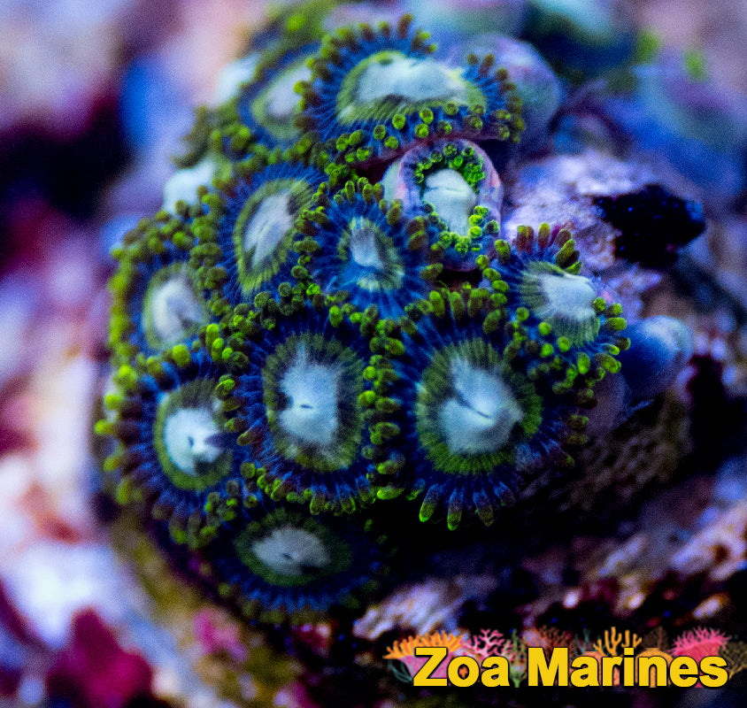 Collectors Zoa 'Lime Jawbreakers' 1 or 2 Heads