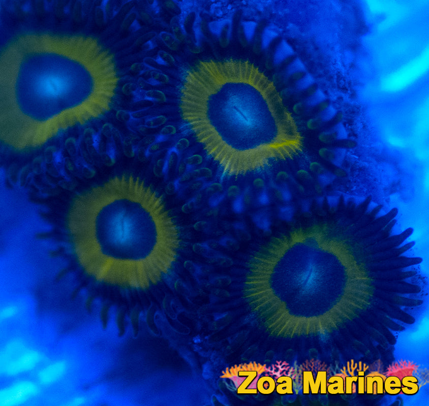 Stunning Collectors Zoa 'Pikachu' 1 Head