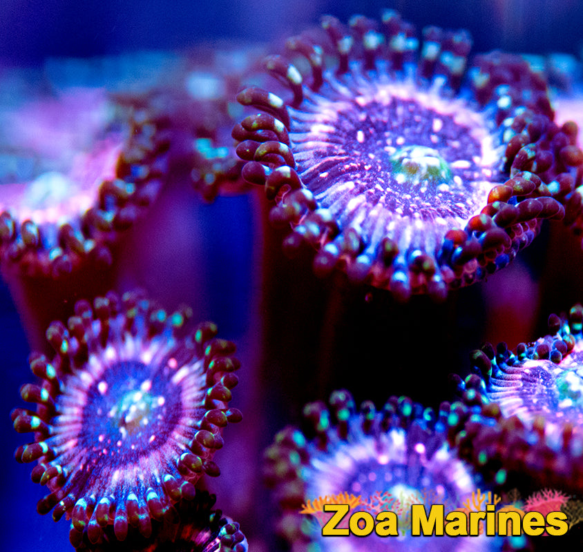 Zoa 'Pink Zipper' Singles to Trebles.